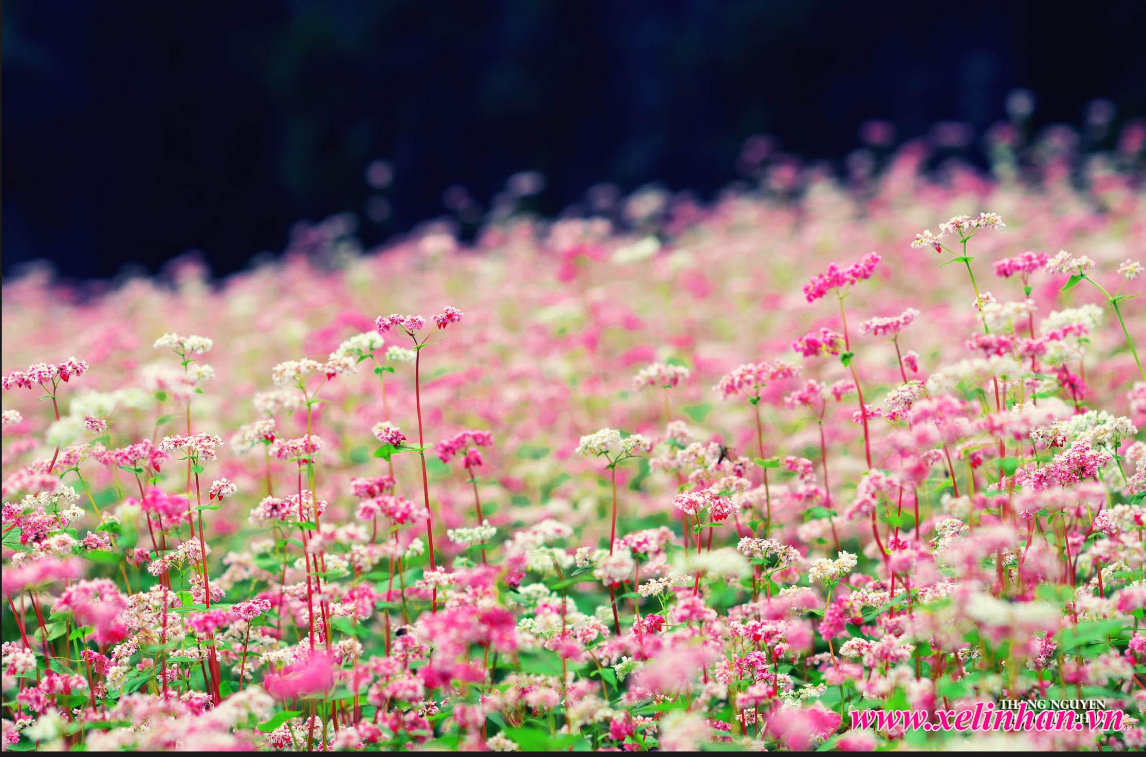 Rực rỡ mùa hoa Tam Giác Mạch Hà Giang